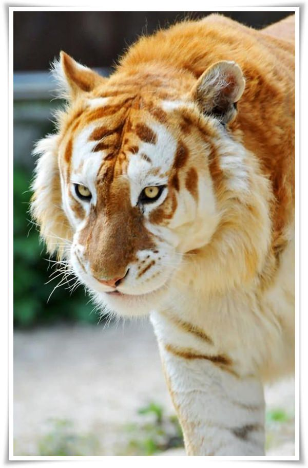 Cool-Looking-Tiger