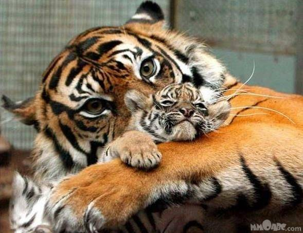 Cool Tiger Pictures 4