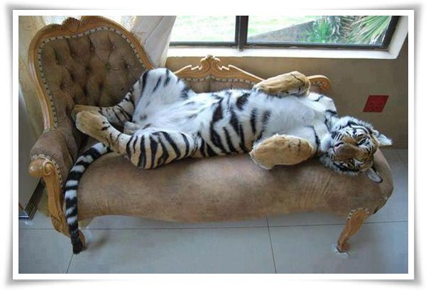 Cool-tiger-lies-on-the-sofa