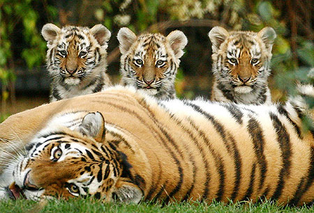 adorable-tiger-family