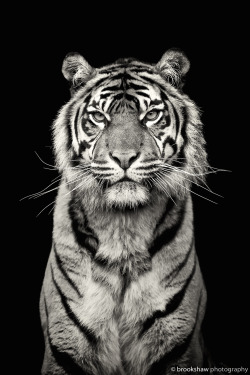 Black and white tiger pictures — photo 15