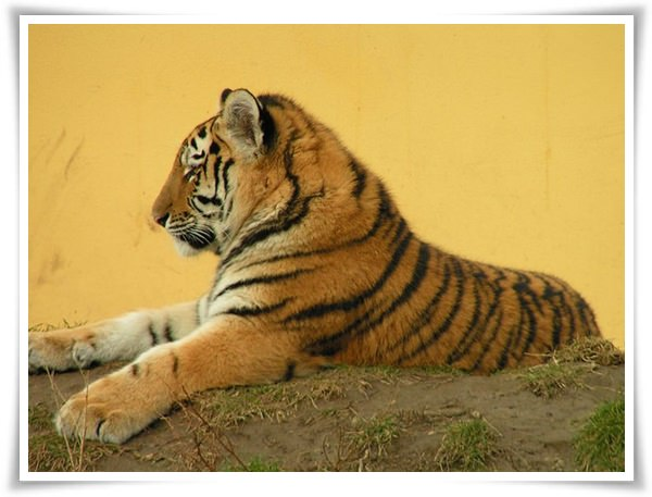 tiger pictures 1