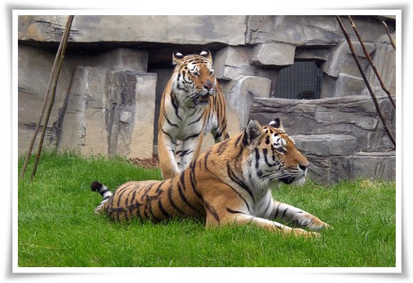 tiger pictures 2