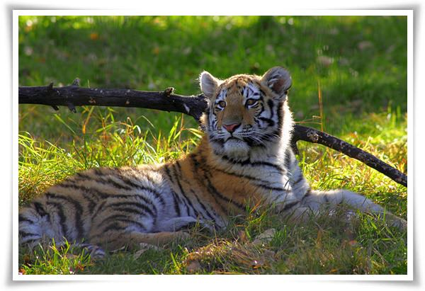 tiger pictures 3
