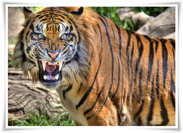 tiger pictures 4