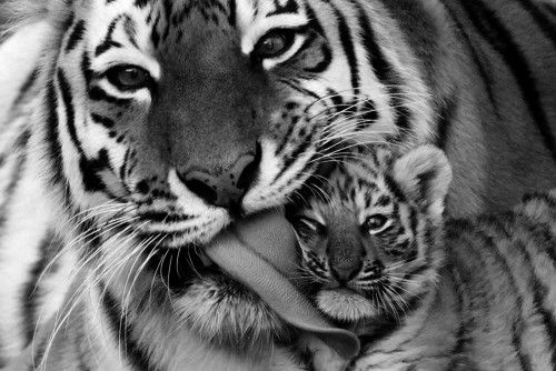 tiger with child